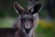 Portrait of Eastern Grey Kangaroo, at Tom Groggins, Mount Kosciuszko National Park