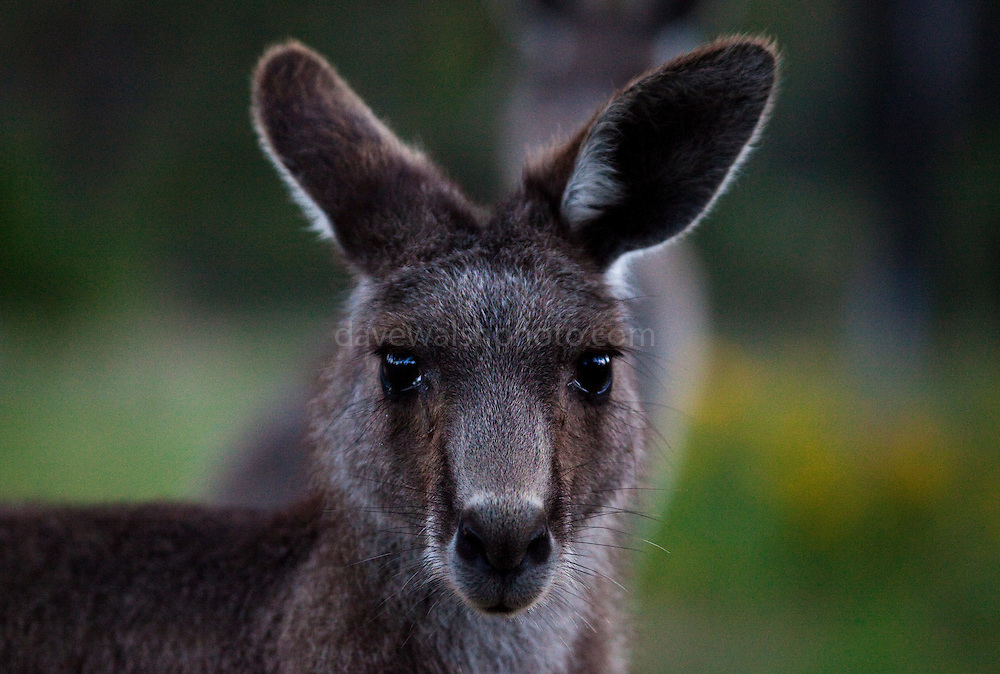 Portrait of Eastern Grey Kangaroo, at Tom Groggins, Mount Kosciuszko National Park