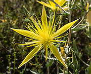 Giant blazingstar or smoothstem blazingstar (Mentzelia laevicaulis) is a spectacular yellow wildflower native to western North America. Photographed along scenic Onion Valley Road in the Sierra Nevada, west of Independence, California, USA.