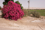 A flowering Bougainvillea bush in a wasteground landscape near Dahkla Oasis, Western Desert, Egypt.