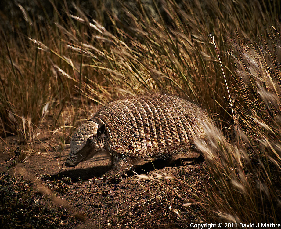 Piche (Armadillo) at a rest area along the southern edge of Lago Viedma, Argentina. Image taken with a Nikon D3s and 70-300 mm VR lens (ISO 200, 300 mm, f/11, 1/640 sec.)
