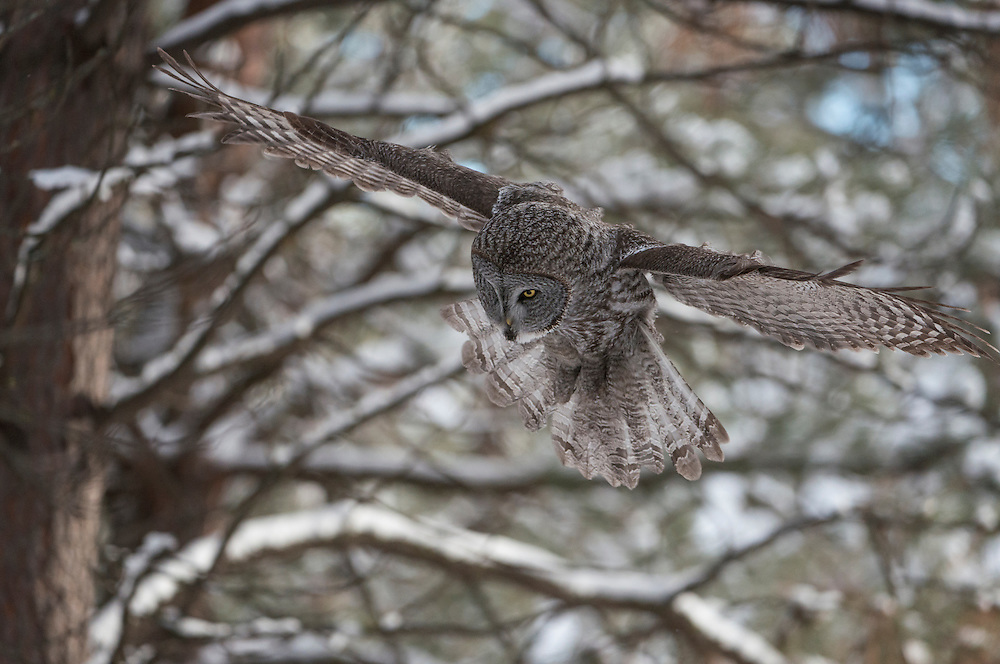 Great Gray Owl (Strix nebulosa) swoops down to catch a meadow vole in a ponderosa pine forest, Missoula, Montana