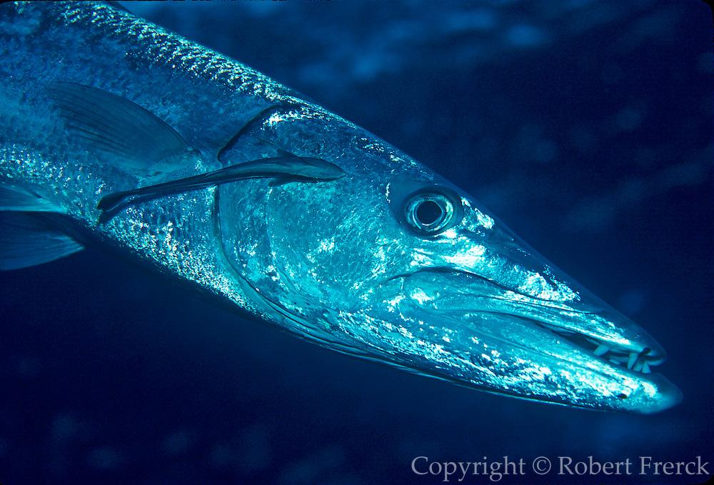 UNDERWATER MARINE LIFE CARIBBEAN, FISH; Barracuda with Remora Sphyraena barracuda