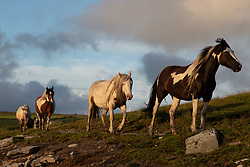 © Licensed to London News Pictures. 31/07/2020. Launceston, UK. Wild horses walk around Colliford Lake, Cornwall at sunset. Photo credit : Tom Nicholson/LNP