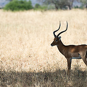 A solitary male impala, a type of antelope, stands in the shade at Tarangire National Park in northern Tanzania not far from Ngorongoro Crater and the Serengeti.