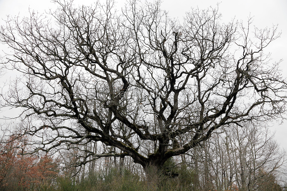 a large bare tree during winter season