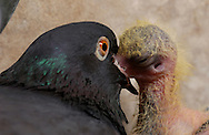 Deutschland, DEU, Ortenburg, 2002: Eine Taubenmutter (Columba liva) fuettert ihr Junges mit vorgekauter Nahrung aus ihrem Schnabel. | Germany, DEU, Ortenburg, 2002: Pigeon mother (Columba liva) feeding her young with forth-choked food out of her beak. |