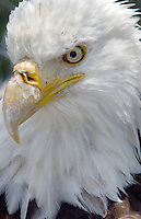 Bald Eagle on the National Elk Refuge, Wyo.