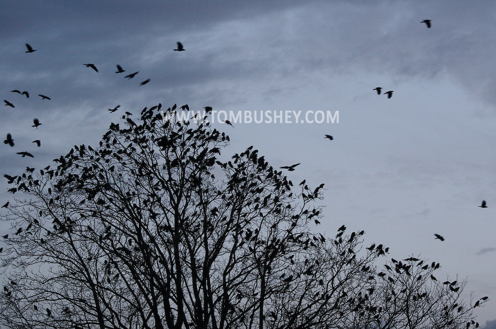 Middletown, NY - Crows gather in bare tree branches before flying off to their roosting site on the evening of  Dec. 14, 2008.