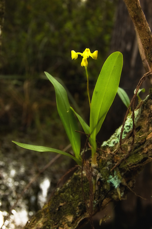 Yellow helmet orchid growing in Monroe County off of Loop Road in the Big Cypress National Preserve. Prepare to go into the water to see these orchids!