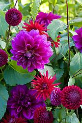 Purple dahlia collection. Dahlia 'Thomas A. Edison' , 'Hillcrest Royal' and 'Downham Royal'
