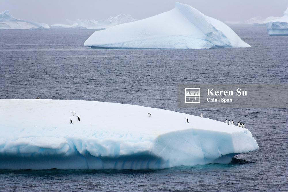 Chinstrap Penguins (Pygoscelis antarcticus) on iceberg, South Orkney Islands, Antarctica