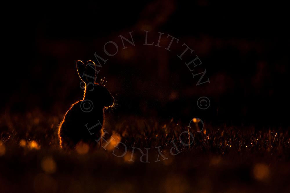 European Hare (Lepus europaeus) adult silhouetted at dusk on farmland, Norfolk, UK.
