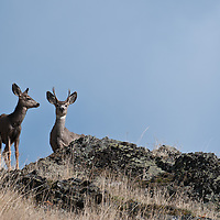 mule deer buck and doe on rocky ridge