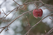 Melting Ice on Winter Apple hanging on bare branches