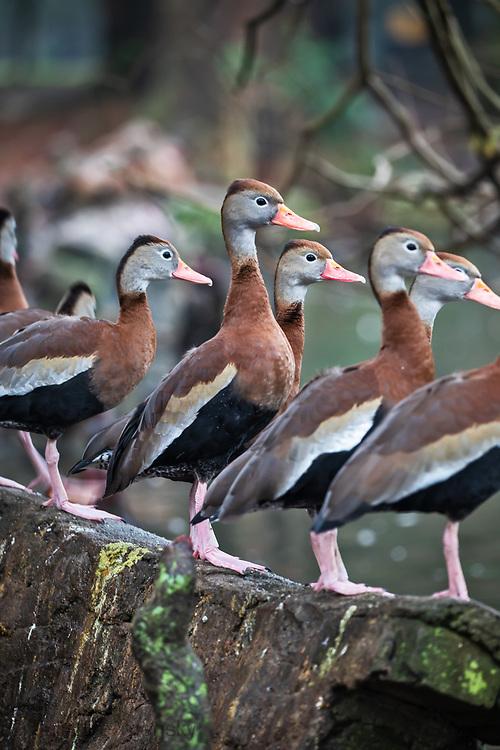 Black-bellied Whistling Ducks in Audubon Park in New Orleans.