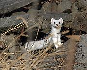 Long-tailed weasel (winter coat) in habitat.