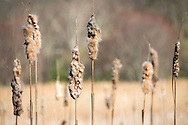 For IMAGE LICENSING just click on the &quot;add to cart&quot; button above.<br /> <br /> Fine Art archival paper prints for this image as well as canvas, metal and acrylic prints available here:<br /> http://2-julie-weber.pixels.com/featured/cattails-julie-weber.html