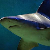 Sandbar Shark, Carcharhinus plumbeus