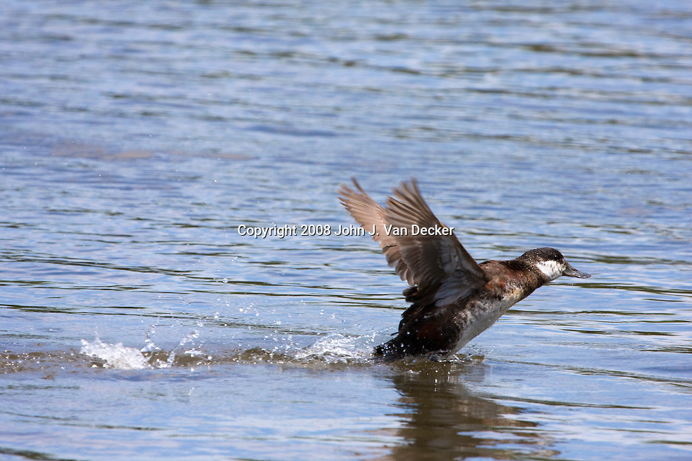 Ruddy Duck female taking off from water