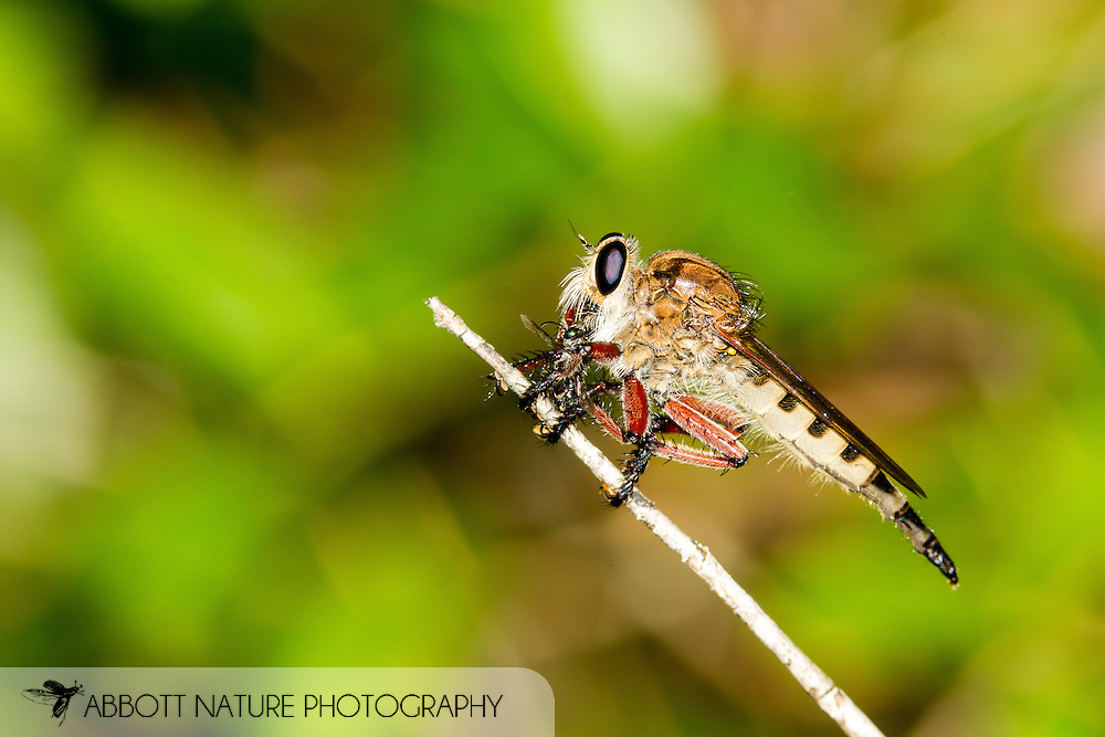 Giant Robber Fly (romachus hinei) with prey<br /> TEXAS: Jasper Co.<br /> stream and associated pitcher plant bog; Angelina National Forest<br /> West of Boykin Springs Recreation Area<br /> 23-Jul-2015<br /> J.C. Abbott #2777 &amp; K.K. Abbott