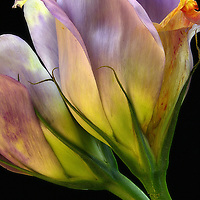 One stem. Two flowers. Two  hours. You'd be amazed what you can learn from flowers, in two hours. They seemed so 'ordinary' in the grocery store, at the checkout aisle, there was just 'something,' but when I really looked, the layers and the colors were breathtaking, as they often are, when I take the time to look closely enough. Oh, the 'Motherhood' - Can you feel it?