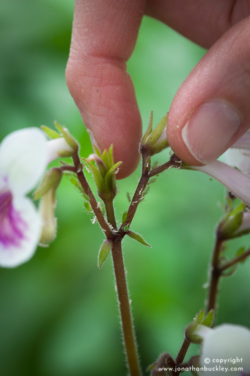Controlling greenfly by picking off and squashing with fingers