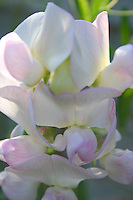 white and pink sweet pea flowers<br />