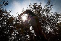 Olive Harvesting, Ajloun, Jordan. 2012