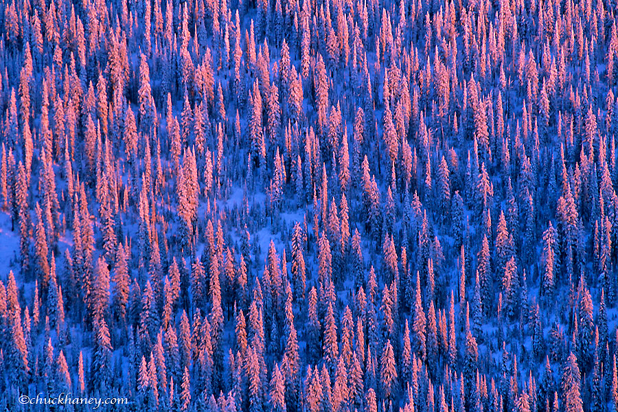 Alpenglow light strikes the oine forest of the Flathead National Forest in Montana