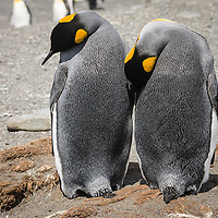 Aptenodytes patagonicus, Antarctica