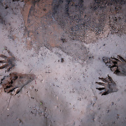 Raccoon tracks in the mud along Beech Creek River in Wild Cat, Ky., on 3/19/10. Photos by David Stephenson