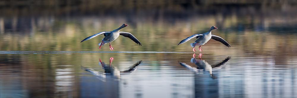 Grey Goose in for landing | Grågås inn for landing