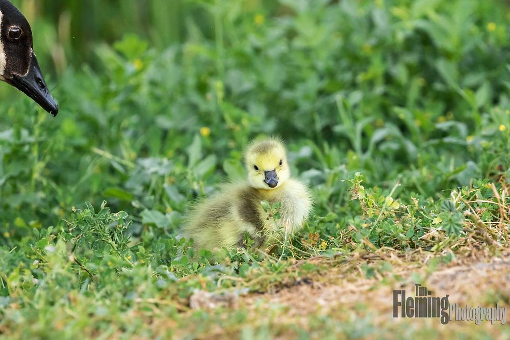 Canada goose parent with gosling