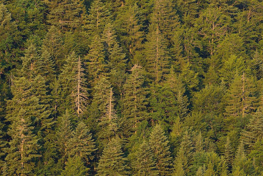 Fir and spuce forest, Velebit Nature Park, Rewilding Europe rewilding area, Velebit  mountains, Croatia