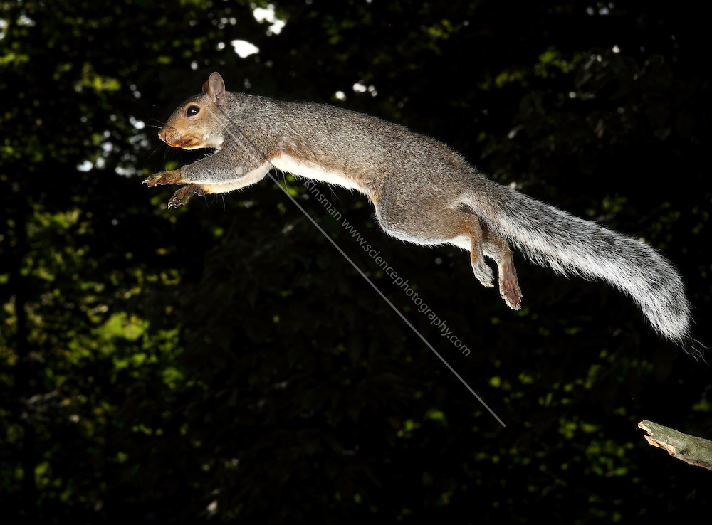 Gray Squirrel (Sciurus carolinensis). Jumping from a branch.  This high-speed image was captured with a flash at 1/20,000th of a second.  This is a female, and she has been feeding on black walnuts.  The nuts have stained teh fur around her mouth.