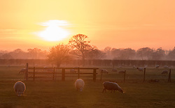 © Licensed to London News Pictures. 28/12/2014. Cheshire, UK Sheep graze in a frosty field. Sunset over the Cheshire Countryside today 28th December 2014. Photo credit : Stephen Simpson/LNP