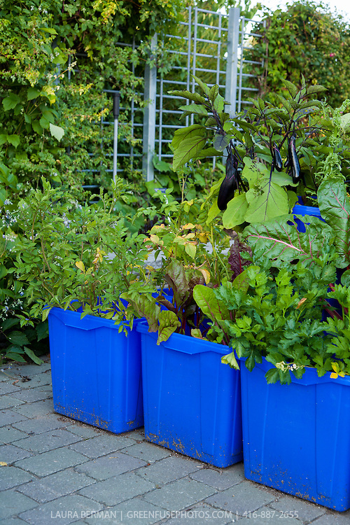 Edible vegetables growing in a container garden made from blue plastic recycing boxes.