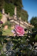 Villa Garzoni's garden,  a rose