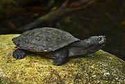 saw-shelled turtle, aged female, Kuranda