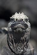Face of a marine iguana on Fernandina island in the Galapagos, Ecuador.