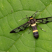 Syntominae sp. a Ceryx clear wing moth, which is belived to mimic a wasp for protection.