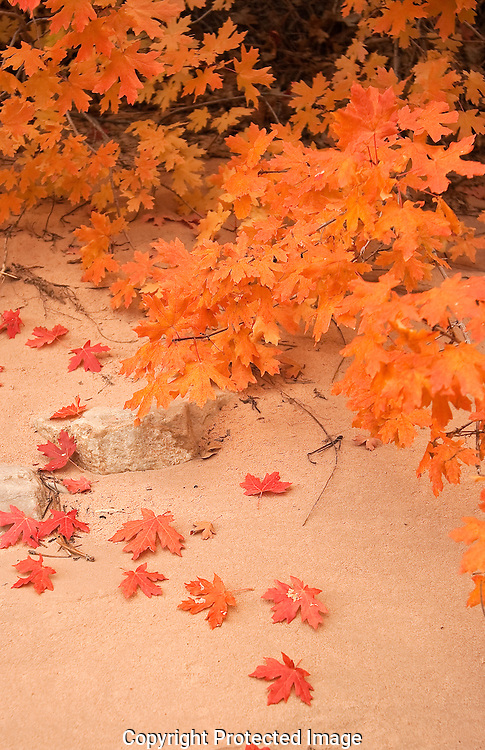 Zion provides a multitude of color in its various habitats.Along the canyon bottoms several species of trees create a path to the waterways through out the park.