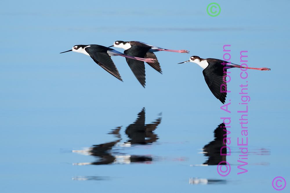 Black-necked stilts in flight reflected in water, © 2011 David A. Ponton