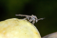 Cherry Gall Wasp - Cynips quercusfolii