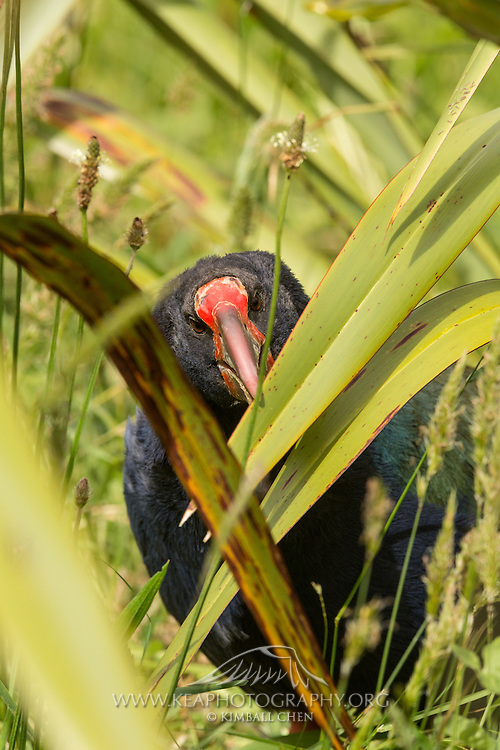 The takahe has a huge red bill, adapted for shearing vegetation, topped by a bold red shield.  Tiritiri Matangi, New Zealand.