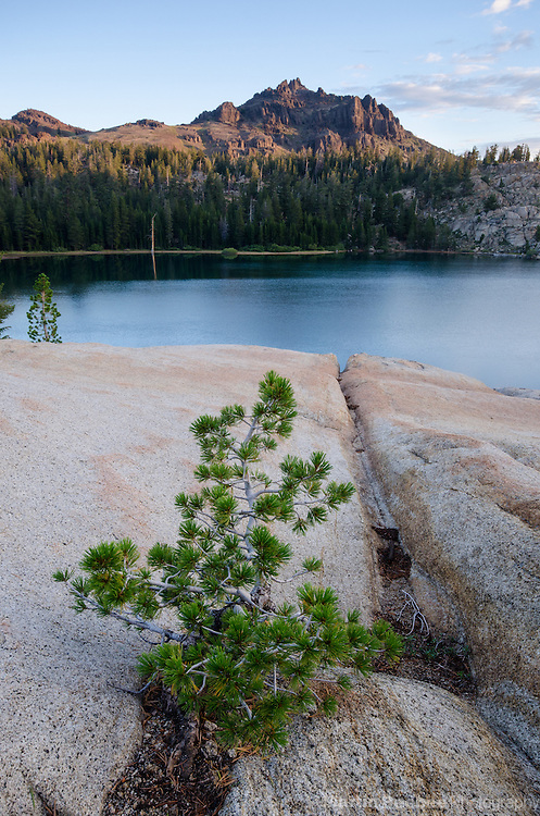 Young Lodgepole Pine (Pinus contorta) at Upper Kinney Lake, Toiyabe National Forest, California