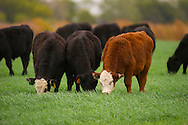 Cattle grazing on Hard Red Winter Wheat at the Marshall Wheat Pasture Research Unit.