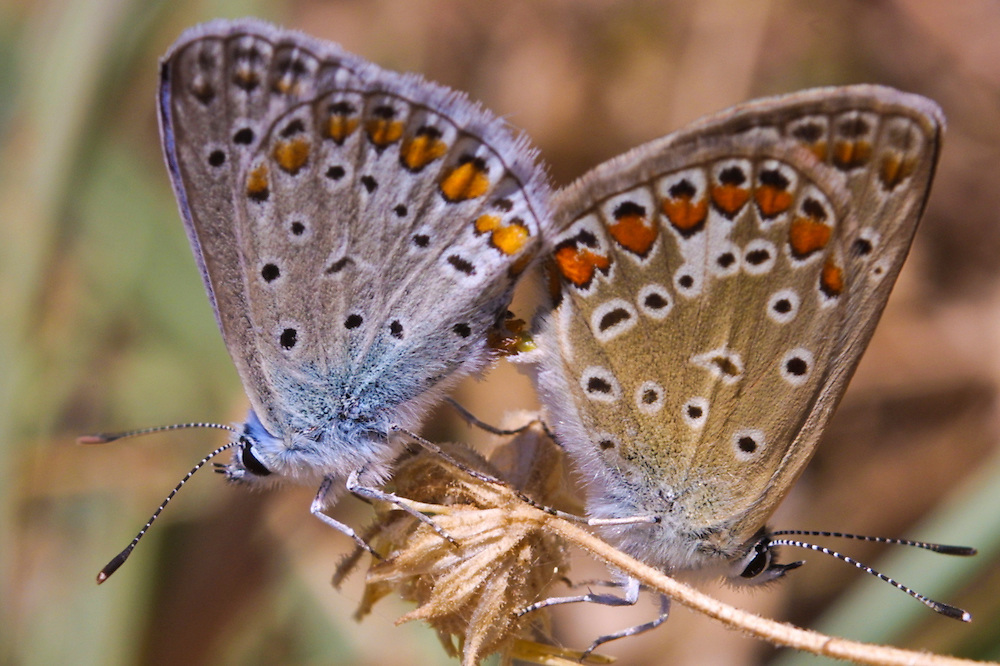 The Common Blue Butterfly(Polyommatus icarus), mating.