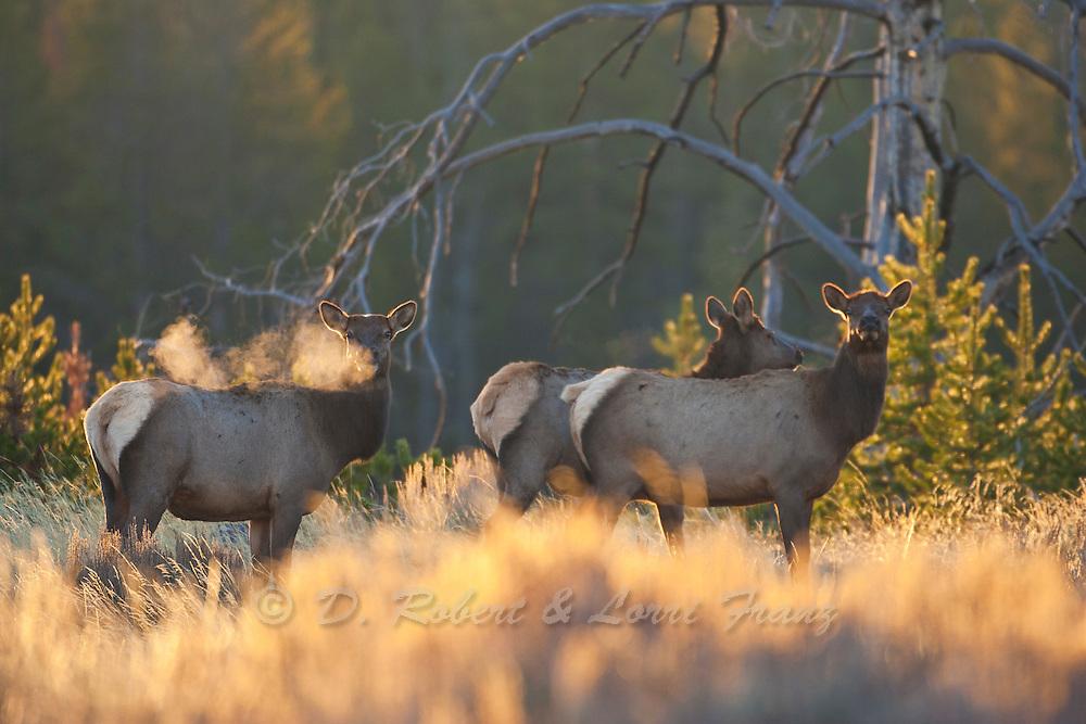 Elk in Yellowstone National Park Wyoming (Cervus canadensis)